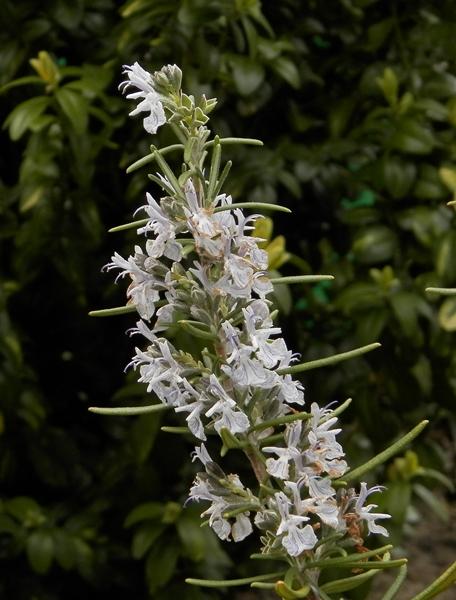 rozmarynkwiat-crop.jpg