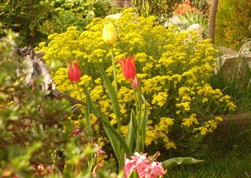 smagliczki_tulipany.JPG